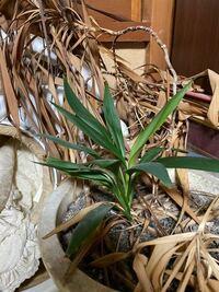 これは何という観葉植物かわかりますか?猫が少し齧ってしまったので危険なものかどうか知りたいです。