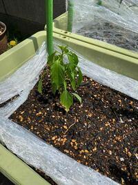 唐辛子の苗が萎れてしまう原因はなんでしょうか? ホームセンターから苗を買ってきて5日前に植え付けをしたところです。今までは調子が良かったのですが、今朝、急に萎れていました。 ずっと曇りが続いていて、急に晴天の高気温になったからですかね?