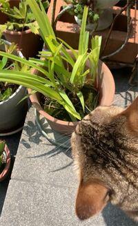 これは何という草ですか? 猫が食べるので怖いです