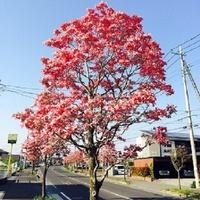 樹木にお詳しい方へお伺いをいたします。 ・ 一般的な「木」に寿命はあるのでしょうか。 それとも、ないのでしょうか。 例えば、ハナミズキとか。 ・ 画像はハナミズキでございます。