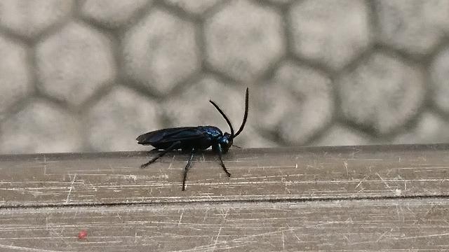 暖かくなると、ここ2、3年前から我が家の庭の植木の周りを飛び回る虫が出現します。 昨年は殺虫剤で退治しましたが、今年はさらに数が増えています。 ハエではないようです。写真を撮りましたので、ご存じの方、害虫、益虫も含めてお教え下さい。