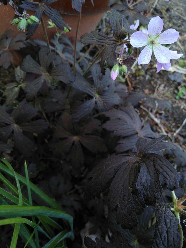 この植物は何でしょうか? もらいものを植えたのですが 宿根草で冬は地上部がなくなります ここ数日で花が咲き始めました