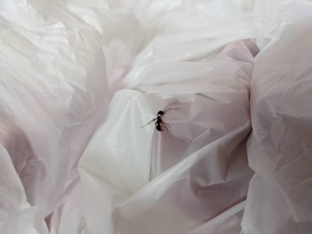 家の中に一匹だけいました。 ティッシュで捕まえる際に少し潰してしまったのですが、これはヒアリでしょうか? アシナガアリでしょうか?