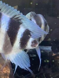 魚の再生能力について この魚の尾鰭は治りますか?1年前からなく今もないです。  よろしくお願いします。
