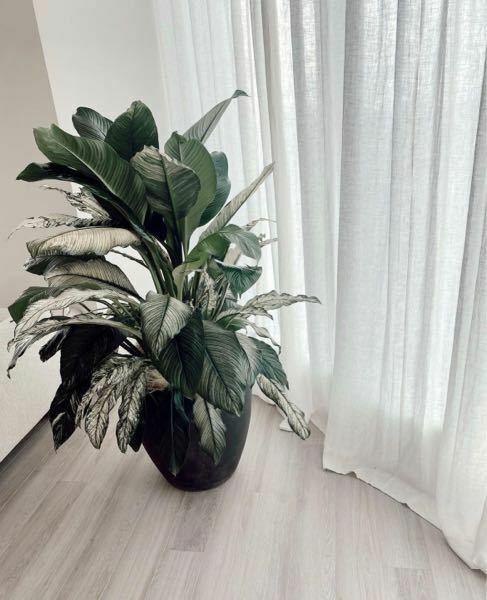 観葉植物の名前が知りたいです! 閲覧ありがとうございます\(^^)/ この写真の観葉植物の名前を教えてください!