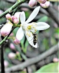 レモンの花の受粉を助けてくれる蜂(ミツバチやクマンバチ)が減って、結実が年々減っています。今年も蜂らしい蜂の訪れはゼロです。 しかし、写真のような小さな昆虫が時々訪れます。これは蜂擬態のアブでしょうか。蜂と同じ受粉役を果たすのでしょうか。   画像