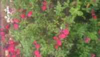 この赤い花は何の花か教えてください