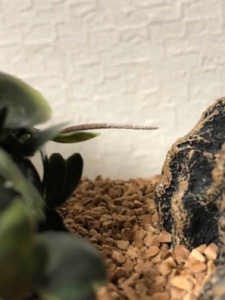カナヘビの、尻尾です。 脱皮不全ですか?