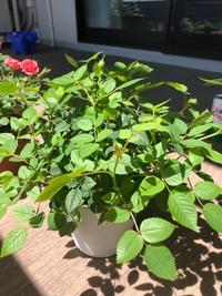 ミニバラの育て方について  園芸初心者です。 3月中旬頃にミニバラの鉢植えを購入しました。その時点で7-8個花が咲いており、色あせてきたので4月の初めに5枚葉の上で花がらを摘み取りました。  ときどき液肥を与えていたところ、どんどん葉が増えて大きくなってきて、このような状態になりました。蕾は4個ほど付いています。  伸び放題という感じで、育て方が正しいのか不安です。どなたかアドバ...