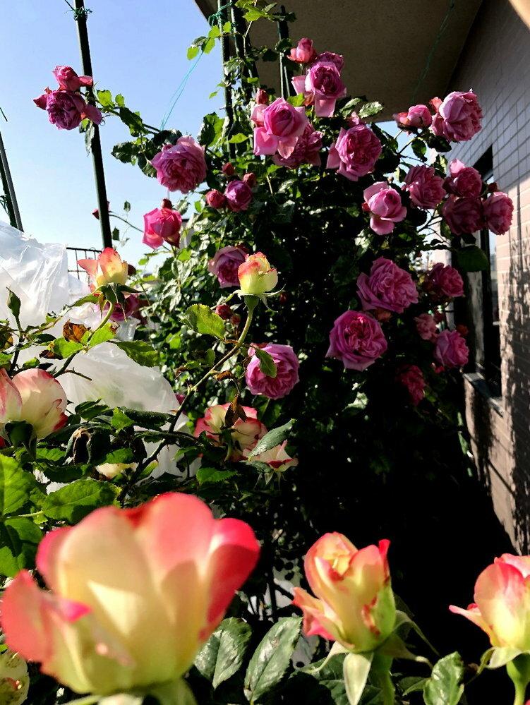 頭でっかちの薔薇、どう仕立てていますでしょうか? ドでかい花がしかも房咲き、茎がどんなに頑張っても 枝垂れバラになってゆきます。 皆さんはそんな時、どう仕立てていますか? そもそもそういった種類を扱わない場合、どんな種類がお好みですか?