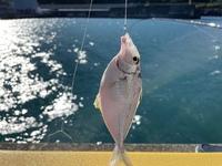 静岡の由比港で釣れたお魚です。 何というお魚でしょうか? お名前教えていただけると嬉しいです!