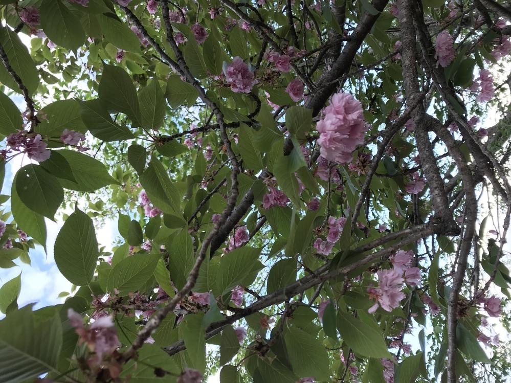 これはなんの花ですか?バラ科だと思います。花は下向きに咲いてました