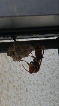 自宅のポストの下で巣を作っていました。 この蜂の種類が知りたいです。