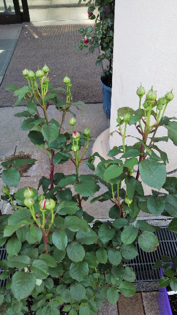 バラの房咲きについて よろしくお願いします。 バラを鉢植えで育てて3年程になりますが、房咲きになりません。 冬は剪定をして鉢替え、春に肥料や活力剤、消毒はあまり好みませんが、効率良くローテーションをして、害虫は極力、手で取る。水やりは土が乾いた感じぐらいにたっぷりやり、日照は午前中によく日があたり午後3時位からはすこし陰る環境です。 バラにとって最低限な事はしているつもりで、品種により、肥料などの管理も変えながら育てていますが、枝の数(葉の数)もあまり増えず、本来なら房咲きをする品種のバラばかり育てているはずですが、一枝に一花しか咲きません。 一昨年は、バラ専門業者にお金を払って冬剪定をしてもらい土も配合して植え替えして貰いましたが、やはり房咲きになったのはラ.ドルチェヴィータぐらいでした。 デルバールのブリーズは一度も房咲きになりません。 下の写真は売っていたデルバールのバラですが、この様な一枝から蕾の数を沢山つける為には、何を一番重視して育てれば良いでしょうか?