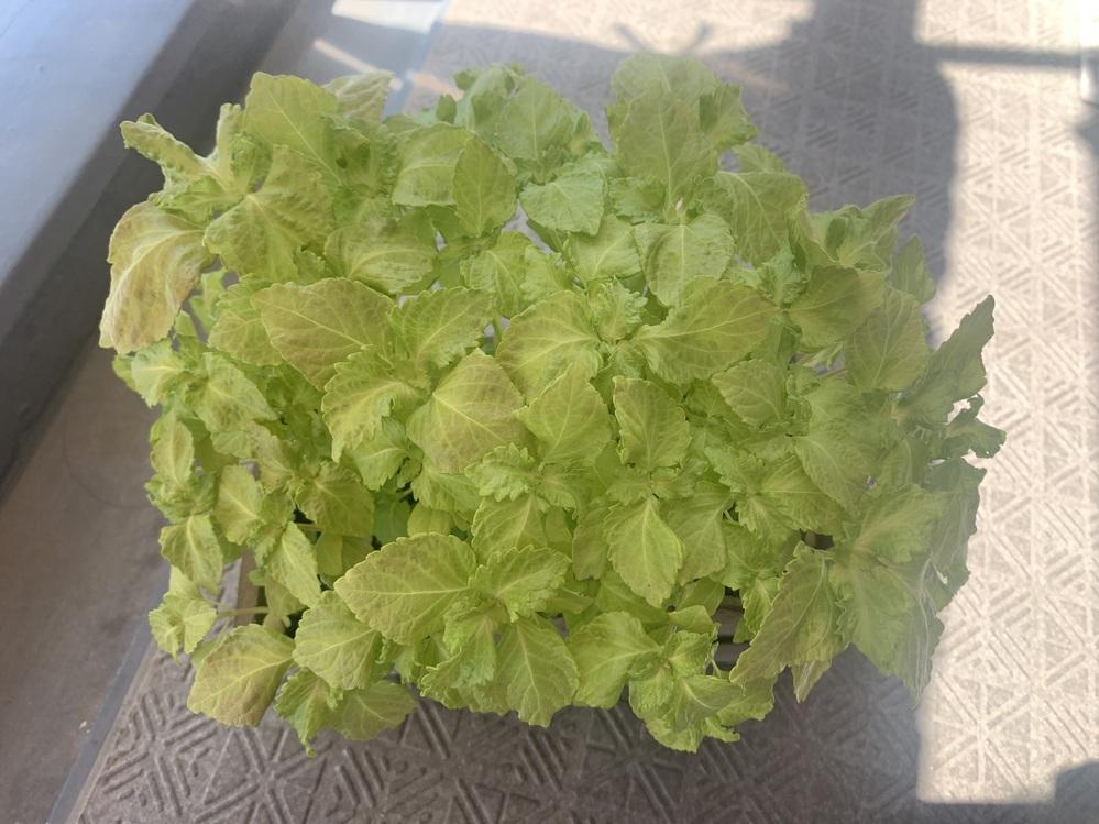 ホームセンターで購入した大葉の栽培キットで育てているのですが 濃い緑にならないのは何故なのでしょうか? 3日に1回液体肥料をあげていてベランダで栽培しています。もう少し葉が大きくなれば収穫なのでしょうか? 初心者でネットで調べて見たのですがわからないので質問させて頂きました。どなたか教えて頂きたいです。