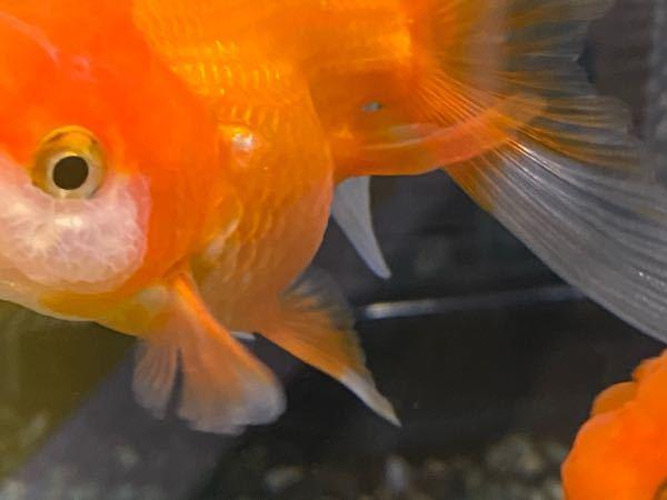 金魚についてるやつなんですけど虫ですか?