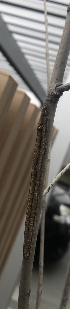 アオダモの木がこのようになっています。これは普通の事なのでしょうか?? 昨年植えた時はなかったです。 虫とかがいたら嫌だなと思い質問しました。 どなたか詳しい方いましたらご回答お願い致します