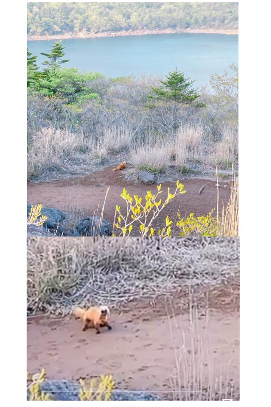 この動物わかる方いらっしゃいましたら教えてください。鹿児島県大浪池、下山途中に友人から写真が送られてきました。