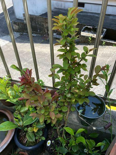 サルスベリを去年買い、その買った鉢のままなのですが、植え替えた方がいいですか?