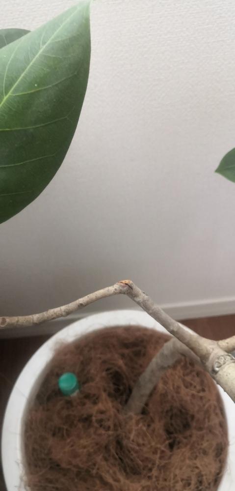 スィカス・ベンガレンシスの枝の裂け目 先日購入したフィカスベンガレンシスの枝の一部に写真の様な亀裂が入っていました。 剪定した形跡があるのでその時に入ったのかもしれません。 このままだと亀裂の先...