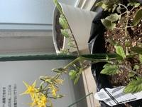 ミニトマトを育てています。 花が咲いてる方の茎は太く、主茎の方は細くなっていて花が咲いてる方の茎と比べると育ちが遅いです。 これはこのままにしていて大丈夫なのでしょうか?