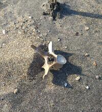 相馬の海で骨を見つけました。流木か動物の骨かもしれませんが、震災のあった場所なので 人骨だったら警察に報告したほうがいいのかと思い念の為写真を撮りました。 何の骨だと思いますか?詳しい方いらっしゃいましたら教えて下さい。