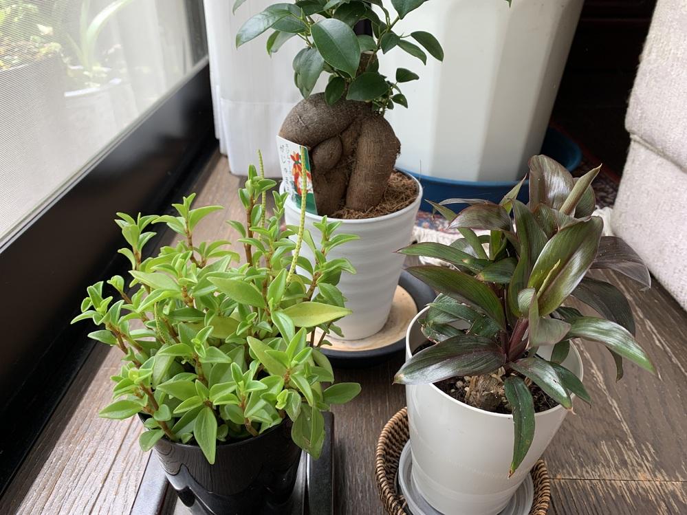 観葉植物の水やりについて お花屋さんのセールで写真の観葉植物を購入しました。ガジュマルには育て方のカードがあるのでわかりますが、前の二つは名前もわからず水やりをどうしたらいいか悩んでいます。どな...