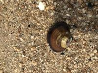 これはなんという貝ですか?  潮干狩りで、この貝ばかり見つけます。 なんという貝でしょうか?