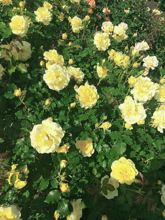この薔薇の種類を教えてください 薄黄色から中心にかけて濃い黄色 花に対して葉が小さめ 花は大きめ