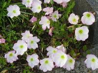 散歩中に庭先に見つけたこの花は何でしょうか。 栽培しているのではなく、雑草として生えていました。