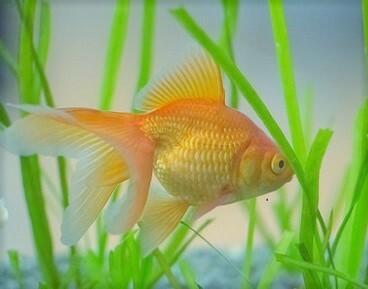 ↓のようなオレンジの薄い金魚、色揚げ用の餌を使うと、飯田の琉金みたいに赤くなると思いますか?