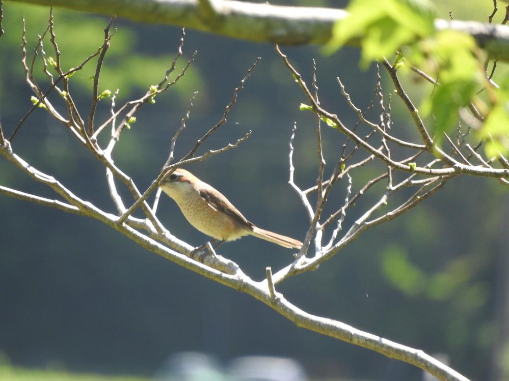 伊豆高原で一昨日見かけた鳥です。何の鳥か教えてください。宜しくお願いします。ジョウビタキとはやや違うような、、