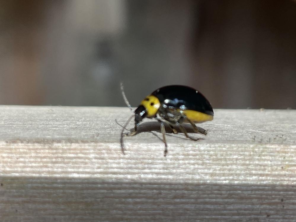 お寺のの敷地内にいました。 てんとう虫みたいですが、 調べてもすぐわかりませんでした。 この虫なんでしょうか?
