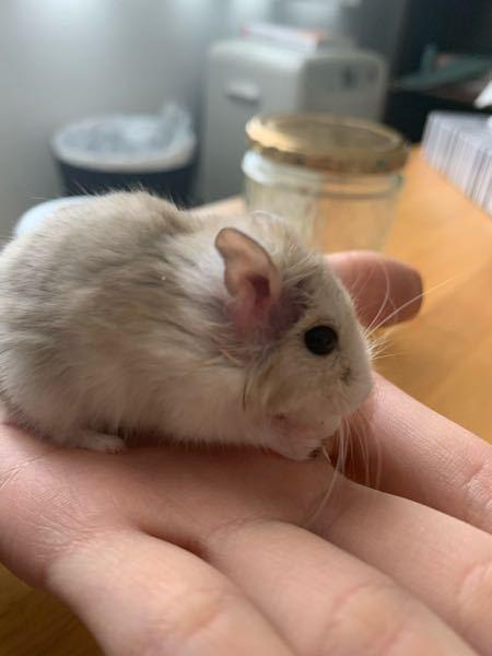 飼ってるハムスターの耳が赤くなってしまったんですがこれはなんでしょう…?考えられる原因と対処法を教えてください。飼い始めて1年半のハムスターです