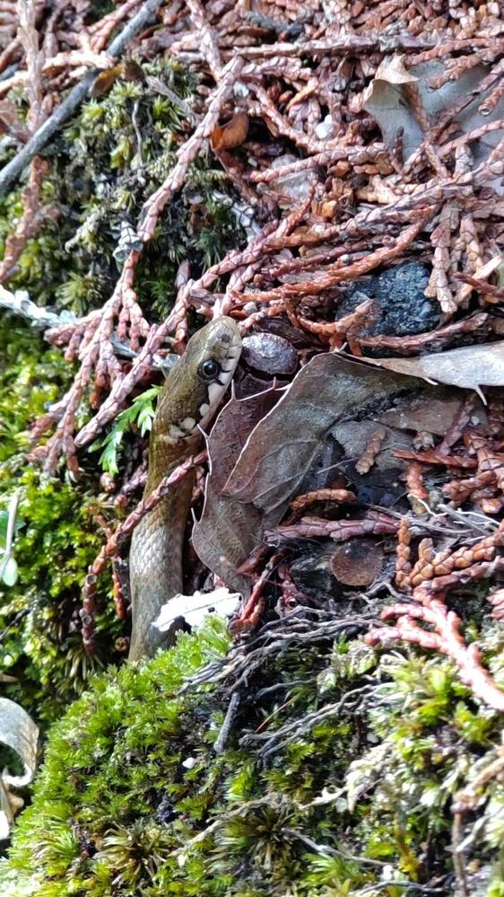 これはヤマカガシでしょうか。 シマヘビでしょうか。。。 ヤマカガシぽいなと思いますが。。 まだ小さく40センチくらいでした。 よろしくお願いいたします。