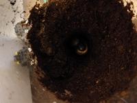 カブトムシの蛹室を崩してしまいました。さっきまで背中を見せていたのに、仰向けの状態になったり、動いています。 この状態のまま蛹になり、羽化できるでしょうか?それとも人工的なものに移す必要がありますか? また、もう一匹の方は、水分が少なく蛹室が完全に崩れてしまいました。まだまだ作ってる途中な気もしたので、そのまま土を湿らせ元に戻したのですが、どうしたものか、、、アドバイスいただけると助かります...