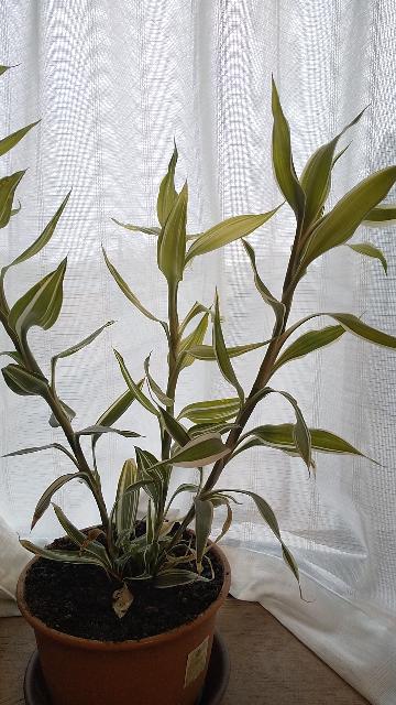 この植物の名前を教えてください! 100均で買った観葉植物なのですが、名前を失念してしまいました。園芸サイトなどを見てもピンと来ません。適当に水をやっていたらニョキニョキ伸びてしまい、この後どうしたらいいのか調べたいのです。