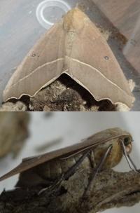 育てていたシャクトリムシが羽化しましたが、なんという名前でしょうか? 大きさ3㎝ほどです。 幼虫の時は灰色っぽい体色で、オリーブの葉を食べていました。