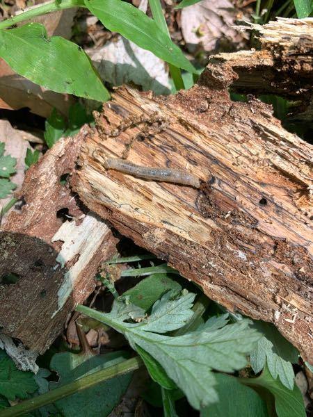 この生き物はなんでしょうか? 朽木から出てきました 顔はカミキリムシの幼虫みたいな感じですが、お腹に溝があるわけではありません どなたか教えてください!
