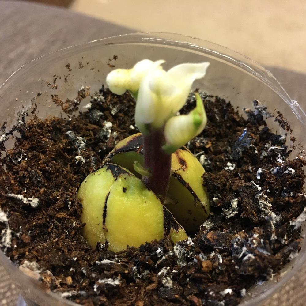 アボカドを種から育ててみたのですが、写真のように花?みたいなものがいきなり付いて茎が伸びません。 これは花なのでしょうか? このまま水をあげていて成長するのでしょうか?ご存知の方、教えて下さい。