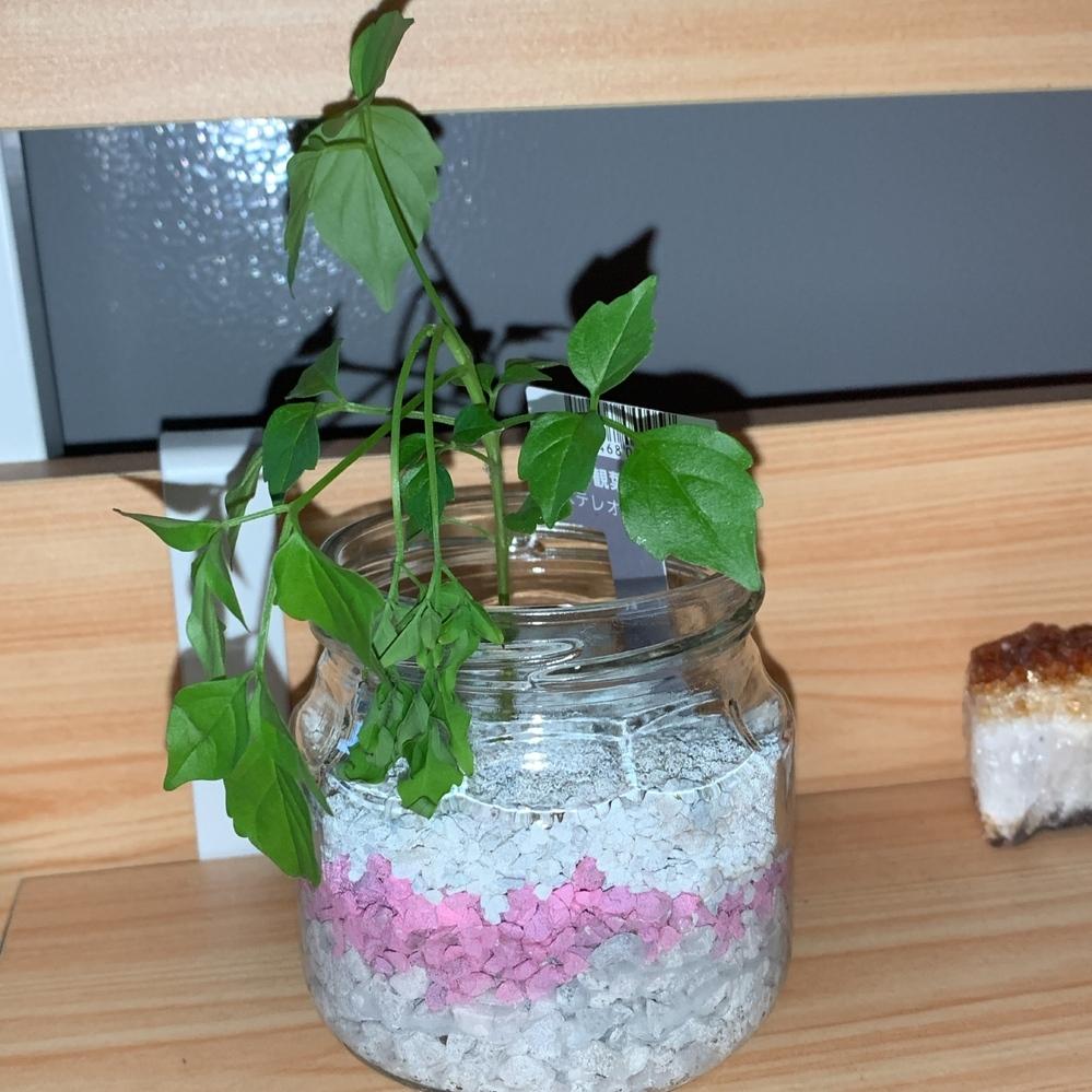 観葉植物に詳しい方助けてください。 ステレオスペルマムを購入して植え替えたのですが、翌朝から一部が萎れかけていて、夜寒かったのかな?と思い、今日はエアコンのつけた暖かい部屋に一日置きました。 (外は強風だったので出しませんでした。) ですが更に萎れてきてしまいました…。 植え替えが土じゃなくなったのがダメだったのでしょうか? このまま元気に育てるコツを教えてくださいm(_ _)m