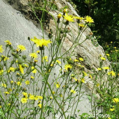 草の名前を教えてください、 岐阜県米田白山で、 撮影20210506