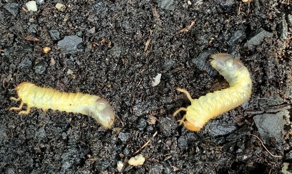 植木鉢乗って中からでてきました。 何の幼虫ですか?