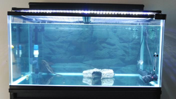 最近90cm水槽で30cm前後のスネークヘッド(コウタイ)を飼い始めたのですが、すごく臆病で水槽に顔を近付けただけで水槽内を暴れるように泳ぎ回ります。そこでマジックミラーフィルムを水槽に貼ろうか悩んでいるの ですが、 実際に水槽にマジックミラーフィルムを貼っている方はいますか? もしおられましたら効果や慣れさせるアドバイスをお願い致します。 ちなみに昼間は基本的に土管の中に入っていて 夜は部...