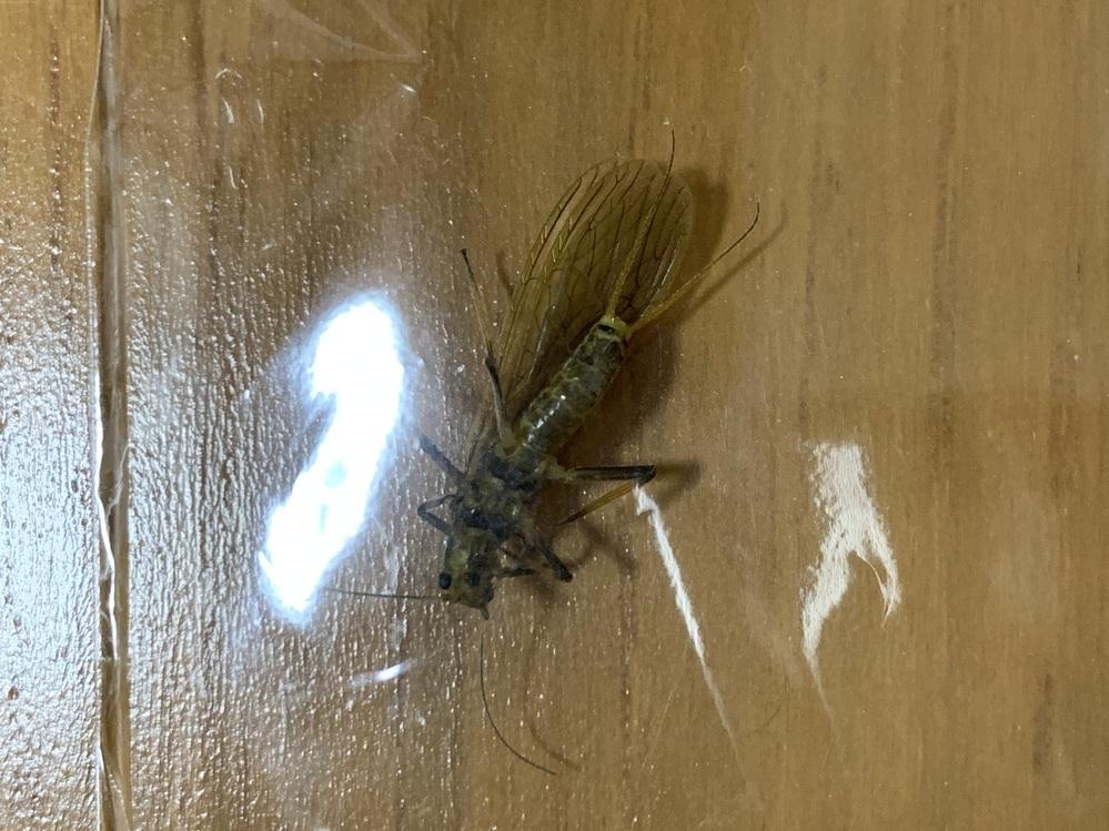 これはなんと言う虫ですか? 2センチ位です。シロアリかと思ったのですがサイズ的にちがうのかと。