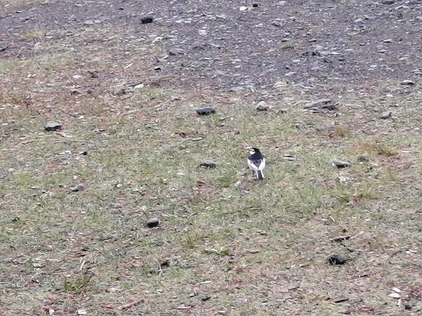 鳥に詳しい方教えてください! 先日散歩をしていた時に見つけた鳥です。 あまり警戒心がなくよっぽど近づかないと逃げなかったため 気になりました。 撮ったのは北海道です。 よろしければ教えて頂けると嬉しいです。