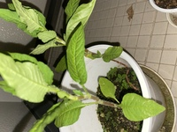 ベランダに1年間放置していた植木鉢に謎の葉っぱが生えていました。  なんの植物か教えてください この植木鉢(か隣の植木鉢)に植えたことがあるものは  ししとう、バジル、大葉 です