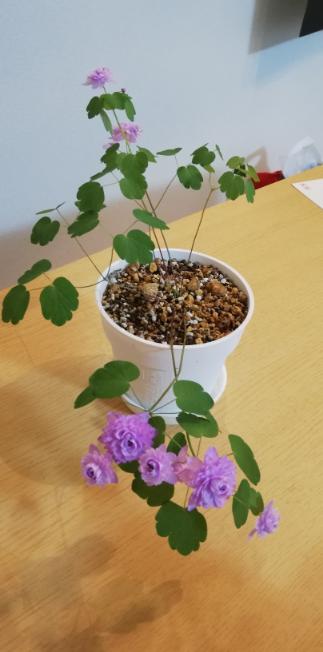 バイカラマツ 濃色 八重咲き を購入しました。 花が空くものがあれば、葉しか出ないものもあります。 花が終わって葉だけになった物は根元から切っていいのでしょうか、、? 切った方が次の花が咲きやすいなら切ろうとおもうのですが。 葉は元気です