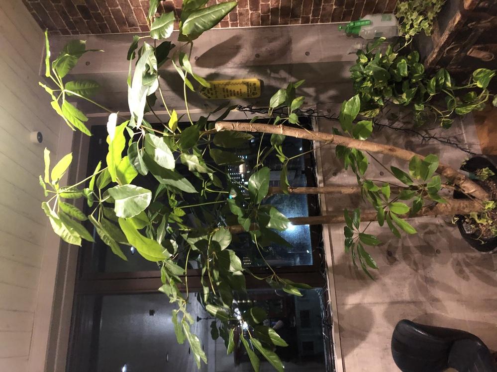 この植物の名前を教えて下さい。 ブラッサイアでしょうか? 購入した時、タグにフィカスなんとかと書いてあったのですが、忘れてしまい、ネットで調べると、ブラッサイアが似てると思いますが、詳しい方教えて下さい。よろしくお願いします。