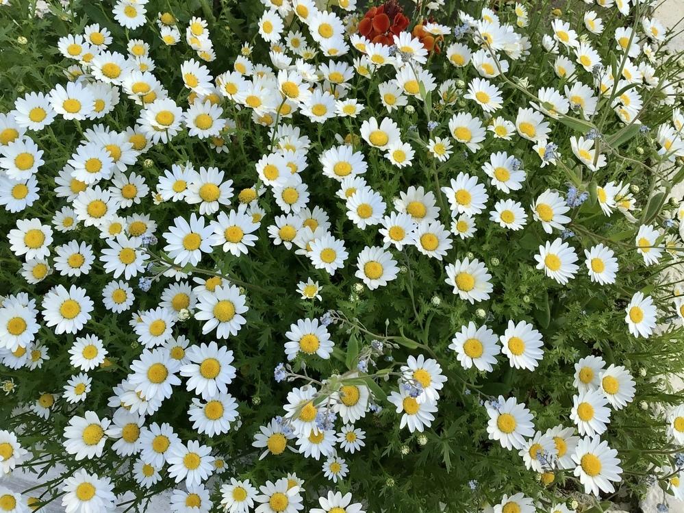 この白い花の名前を教えてください。